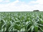 Minas deve ser o maior produtor de milho primeira safra em 2014
