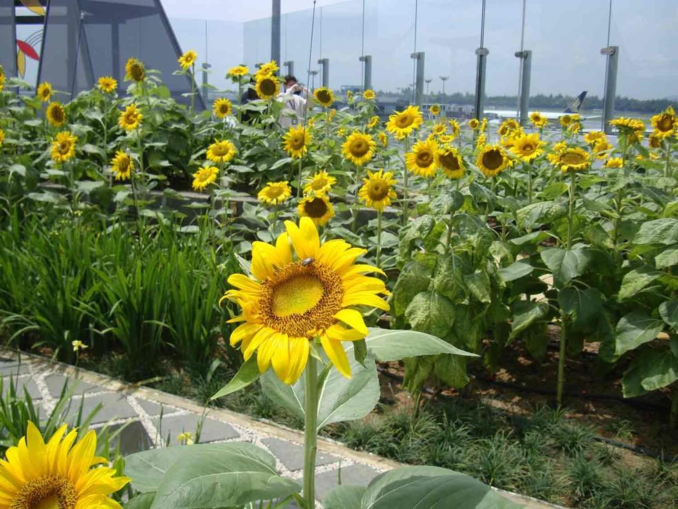 Jardim de girassóis no aeroporto de Changi, na Cingapura (Foto: Changi Airport Group/Divulgação)
