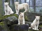 Filhotes raros de leão branco são soltos pela primeira vez na Holanda