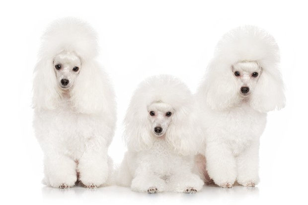Group of white poodles posing on a white background (Foto: Getty Images/iStockphoto)