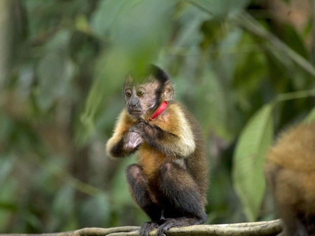 Macaco Castanha, dublado por Lúcio Mauro Filho, é o protagonista de 'Amazônia' (Foto: Divulgação)