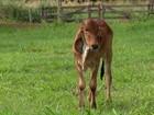 Bezerra gir leiteiro é clonada para melhorar a produção de leite no Brasil