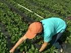 Estiagem obriga redução da área plantada com morangos em MG