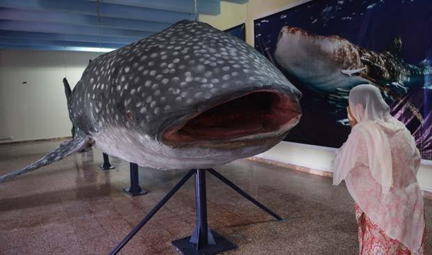 Tubarão-baleia é exposto em Museu de História Natural do Paquistão, em Islamabad. (Foto: AFP Photo/Aamir Qureshi)