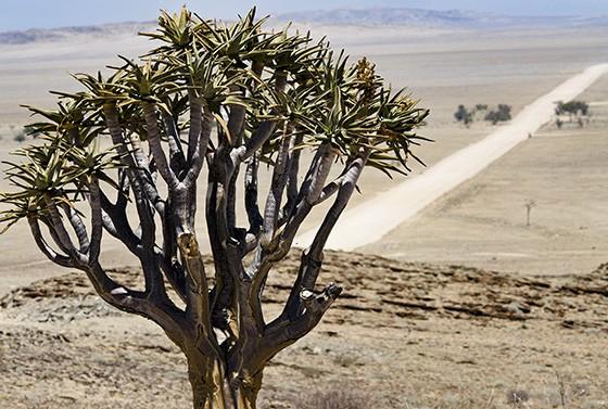 Ainda na Namíbia, o kokerboom nativo mais ao norte do país, na estrada entre o Parque Nacional Namib-Naukluft e a Costa do Esqueleto, próximo ao Trópico do Capricórnio  (Foto: © Haroldo Castro/ÉPOCA)