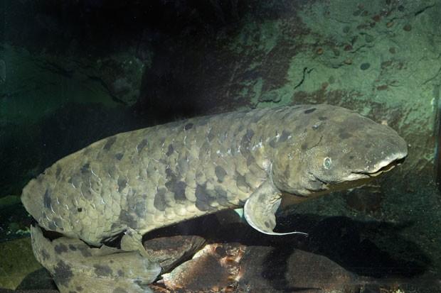 Peixe-pulmonado-australiano que vive há 80 anos no aquário Shedd (Foto: Brenna Hernandez/Shedd Aquarium/AP)