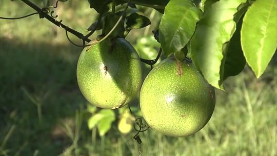 Programa potencializa produção de pequenos lavradores no Oeste do MA