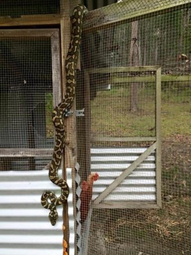 Píton foi flagrada tentando invadir galinheiro em Yandina (Foto: Reprodução/Facebook/Sunshine Coast Snake Catchers 24/7)