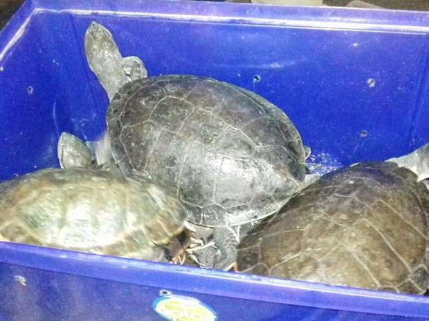 Tartarugas eram transportadas dentro de caixas, na BR-153, em Uruaçu, Goiás (Foto: Divulgação/PRF)
