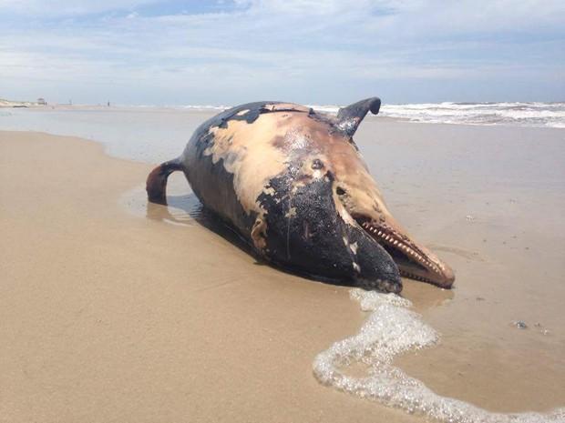 Baleia morta na praia de Torres, RS (Foto: Daniela Maria Medeiros / Divulgação)