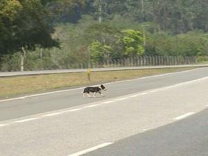 Cão solto em rodovia (Foto: Cláudio Nascimento/ TV TEM)