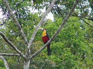 Tucano-de-bico-verde é uma das espécies abrigadas no local (Foto: Spry Vídeo/Divulgação)