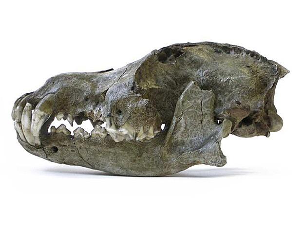 Vista lateral de crânio de lobo da era geológica Pleistoceno. Ossos de 26 mil anos foram encontrados em caverna da Bélgica  (Foto: Royal Belgian Institute of Natural Sciences/AP)