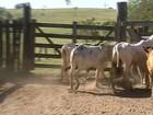 Polícia prende quadrilha suspeita de furtar gado no noroeste paulista