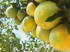 Clima ajuda e safra de laranja vai ser 7,76% maior que estimativa de 2015