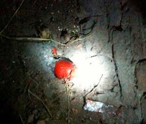 Parte da droga foi encontrada dentro de um tomate (Foto: Cedida/Degepol/RN)