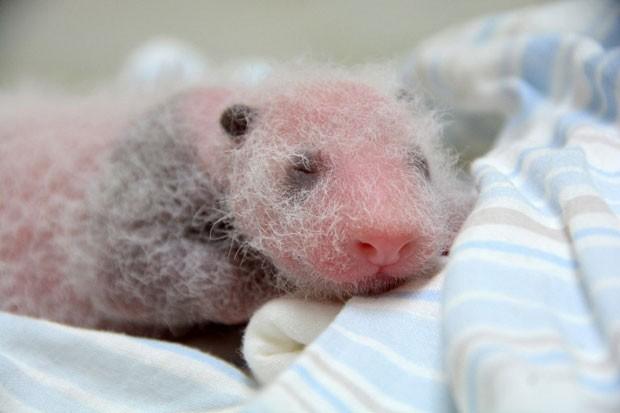 Filhote de panda-gigante nascido no Zoológico de Taipei é apresentado. (Foto: AFP Photo / Taipei City Zoo)