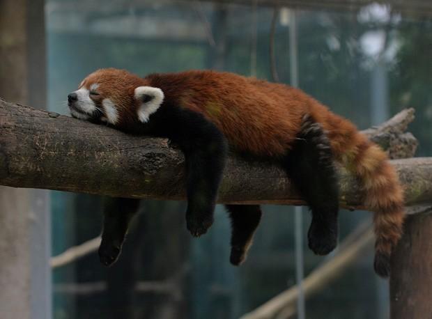 Animais foram vistos dormindo na maior preguiça no zoológico, que foi aberto ao público pela primeira vez em 1908 (Foto: Mark Ralston/AFP)