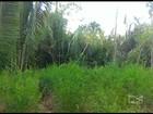 Polícia Militar destrói cinco mil pés de maconha em Rosário, MA
