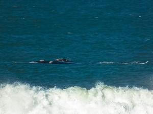 Baleia-franca em SC (Foto: Divulgação/Insitituto Baleia Franca)