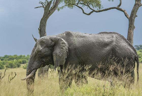 Logo que chegamos em Savuti, no Parque Nacional Chobe, o número de elefantes avistados cresceu exponencialmente  (Foto:  © Haroldo Castro/ÉPOCA)