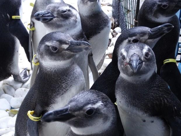 Pinguins só devem ser resgatados se estiverem debilitados (Foto: Divulgação/IPRAM)