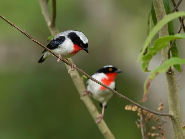 Saíra apunhalada tem esse nome por causa de suas manchas vermelhas  (Foto: Gustavo Magnago/Setur-ES)