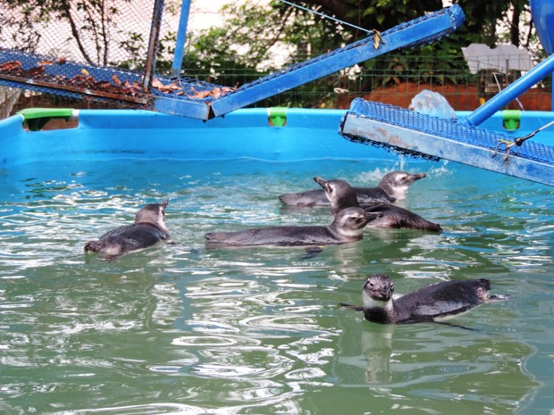 Pinguins-de-magalhães são tratados no Centro de Reabilitação de Animais Marinhos (CRAM) (Foto: Divulgação/ CRAM)