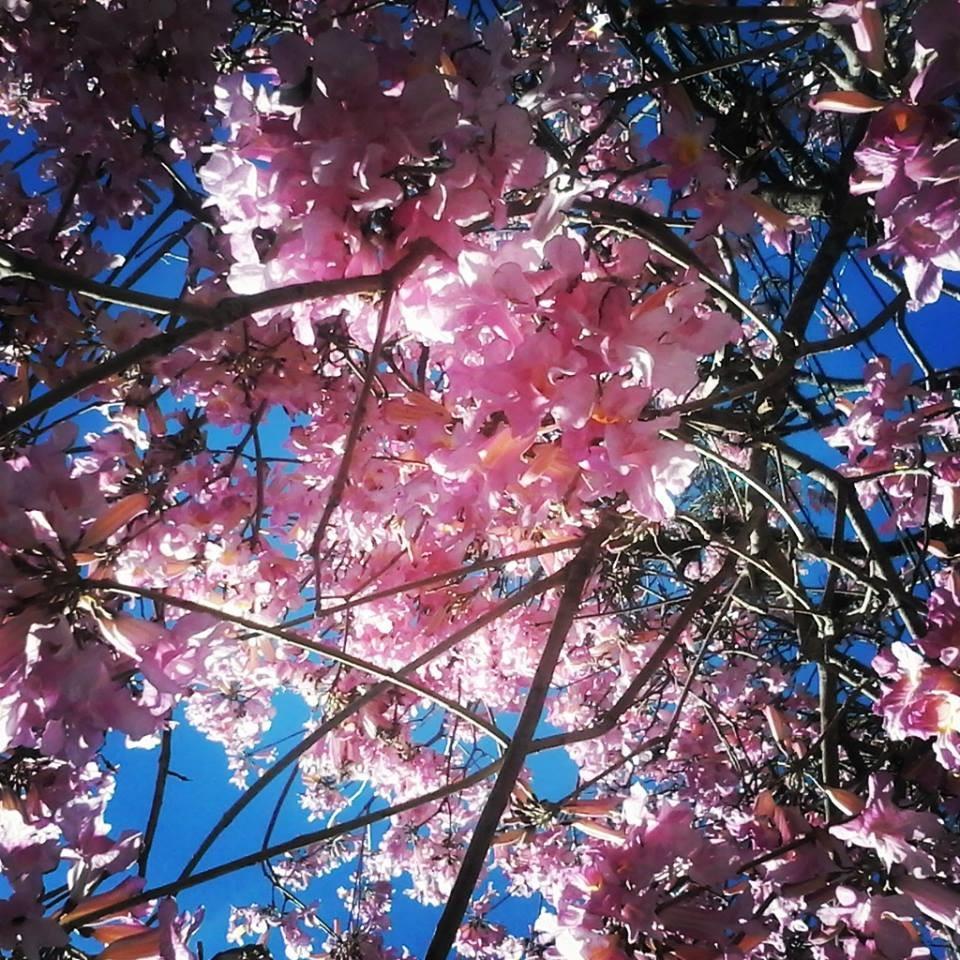 jardim ipe porto alegre:Ipê rosa – GLOBO RURAL