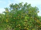 Produtores de laranja de SP têm dificuldade para comercializar a safra