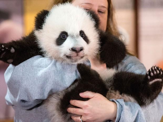 Nicole MacCorkle, funcionária do Zoológico Nacional de Washington, exibe o filhote de panda gigante Bei Bei na quarta (16) (Foto: AP Photo/Andrew Harnik)