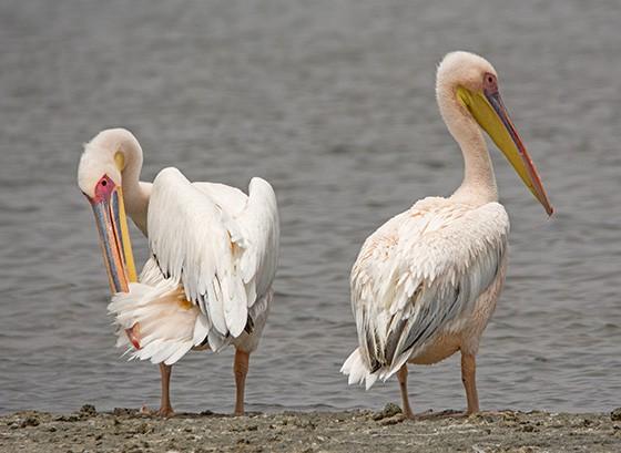 Dois pelicanos aguardam o momento para caçar mais peixes na Ponta do Pelicano  (Foto: © Haroldo Castro/ÉPOCA)