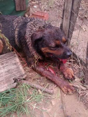 Cachorra foi encontrada bastante ferida  (Foto: ONG Late Mia/ Divulgação )