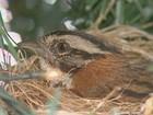 Tico-ticos voltam ao ninho em árvore de Natal para chocar mais dois ovos