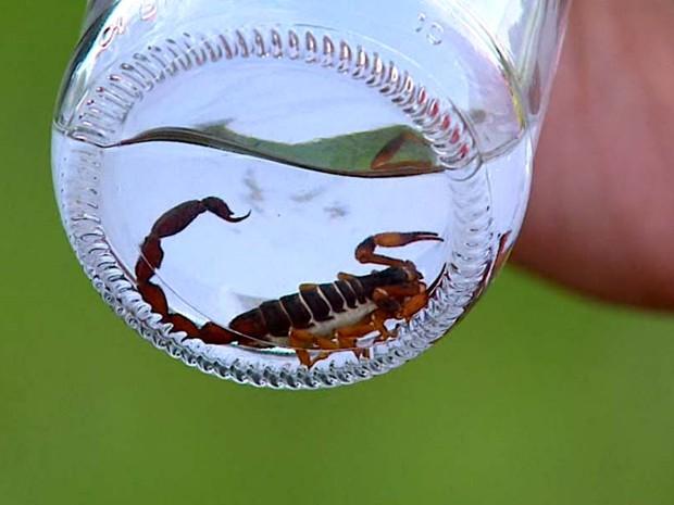 Moradora exive escorpião que encontrou dentro de casa (Foto: Rodrigo Sargaço/EPTV)