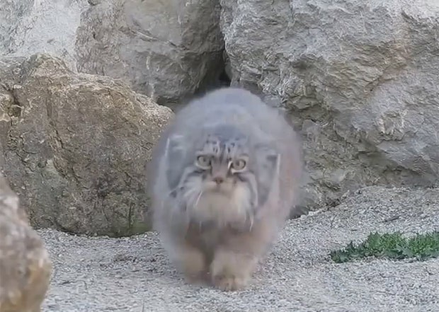 gato-de-pallas ficou curioso com câmera instalada em seu recinto em zoo inglês (Foto: Reprodução/YouTube/Leevartan424)