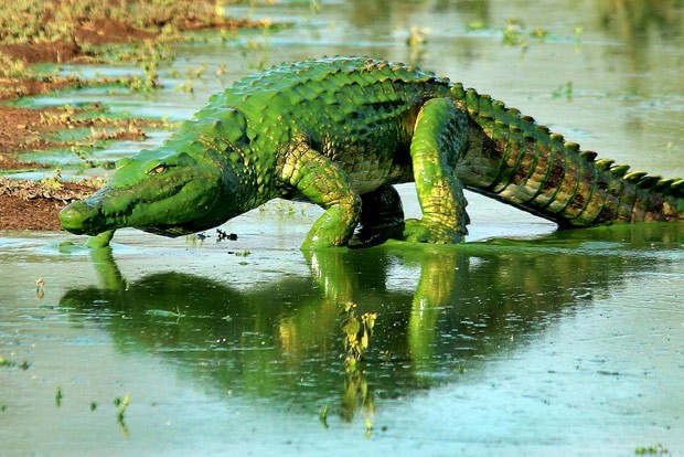 Crocodilo com escamas 'verde brilhante' ganha apelido de Hulk (Foto: Armand Grobler/Caters News/Grosby Group)