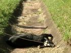 Dez animais morrem atropelados por caminhões na rodovia em Bauru