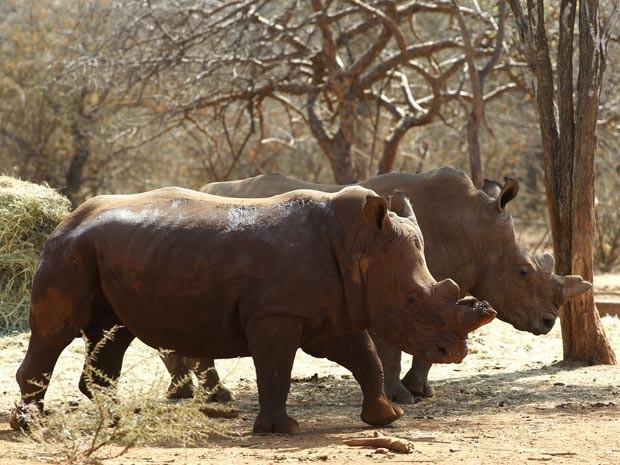 Rinocerontes com chifres mutilados na África do Sul (Foto: Reuters/Siphiwe Sibeko)