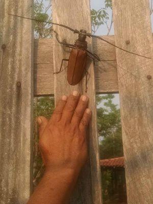 Besouro gigante encontrado na zona rural de Porto Velho (Foto: Fernando Mello/Arquivo Pessoal)