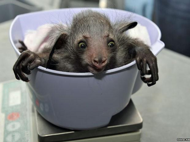 Os lêmures estudados, como este bebê, são pesados ao longo de suas vidas. A ferramenta inclui informações de todos os estágios da vida dos animais, do nascimento até a velhice.  (Foto: Duke Lemur Centre/ BBC )