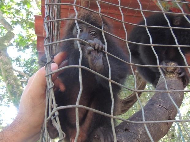 Macaco bugio está entre as espécies ameaçadas pela prática de comercialização de espécies (Foto: Melina Castro/G1 SC)