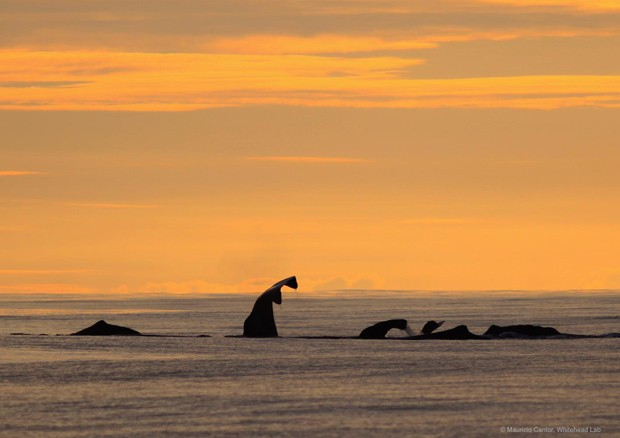 Cachalotes emitem sons para se comunicar nas Ilhas Galápagos  (Foto: Mauricio Cantor/ Whitehead Lab/ Dalhousie University, Canada)