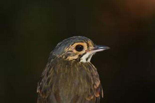 Nova espécie de ave, batizada de torom-de-alta-floresta, foi encontrada ao sul do Rio Amazonas (Foto: Divulgação/Museu Emilio Goeldi)