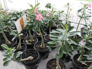 Rosa do Deserto é uma das espécies mais vendidas (Foto: Yuri Matos/G1)