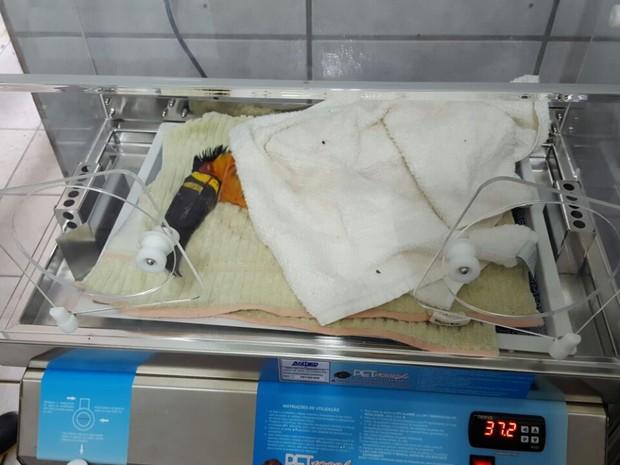 Tucano teve novo bico implantado em cirurgia (Foto: R3 Animal/Divulgação)