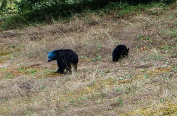 Aaron Smith filmou ursa com cabeça pintada de azul (Foto: Reprodução/YouTube/BlueBear)
