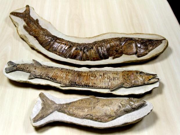 Fósseis de peixes devolvidos ao Brasil pelo FBI; idade varia de 95 a 115 milhões de anos, segundo estimativas (Foto: Vianey Bentes/TV Globo)