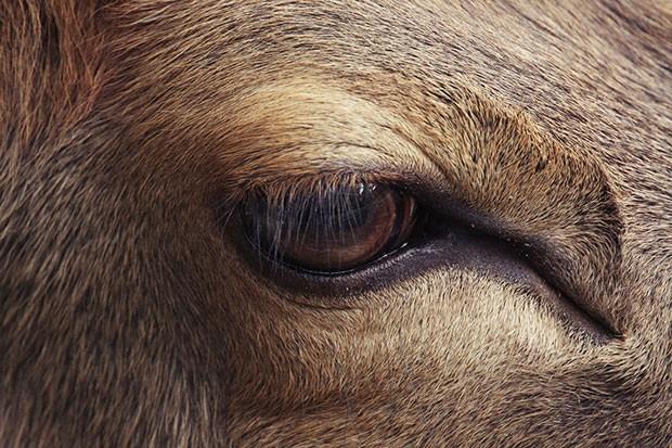 Um uapiti, uma espécie de veado encontrado na Ásia (Foto: Oscar Ciutat/Creative Commons)
