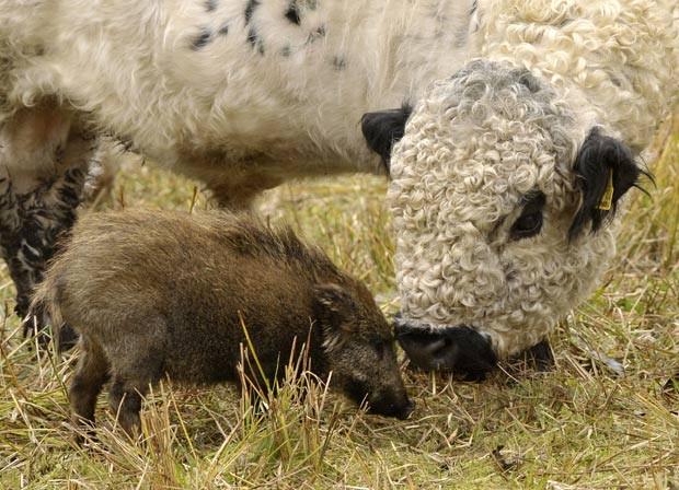 Em 2010, um filhote de javali, que ganhou o nome de 'Freddy', foi amamentado por uma vaca em uma fazenda em Ebergötzen,próximo de Göttingen, na Alemanha. (Foto: Stefan Simonsen/AP)